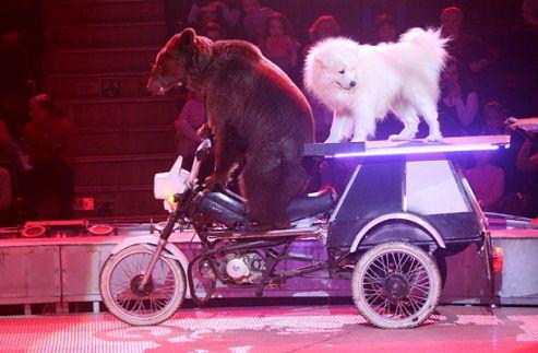 Знаменитая медведица с медвежатами едут на гастроли в Верхний Уфалей!